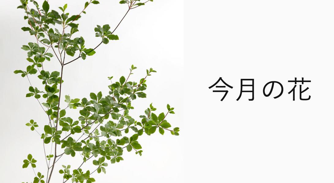 今月の花 ドウダンツツジ
