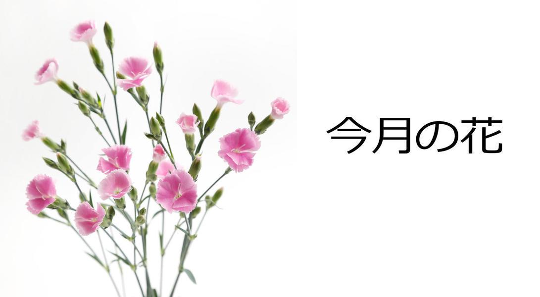 今月の花 ナデシコ