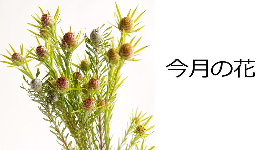 今月の花 ネイティブフラワー リューカデンドロン
