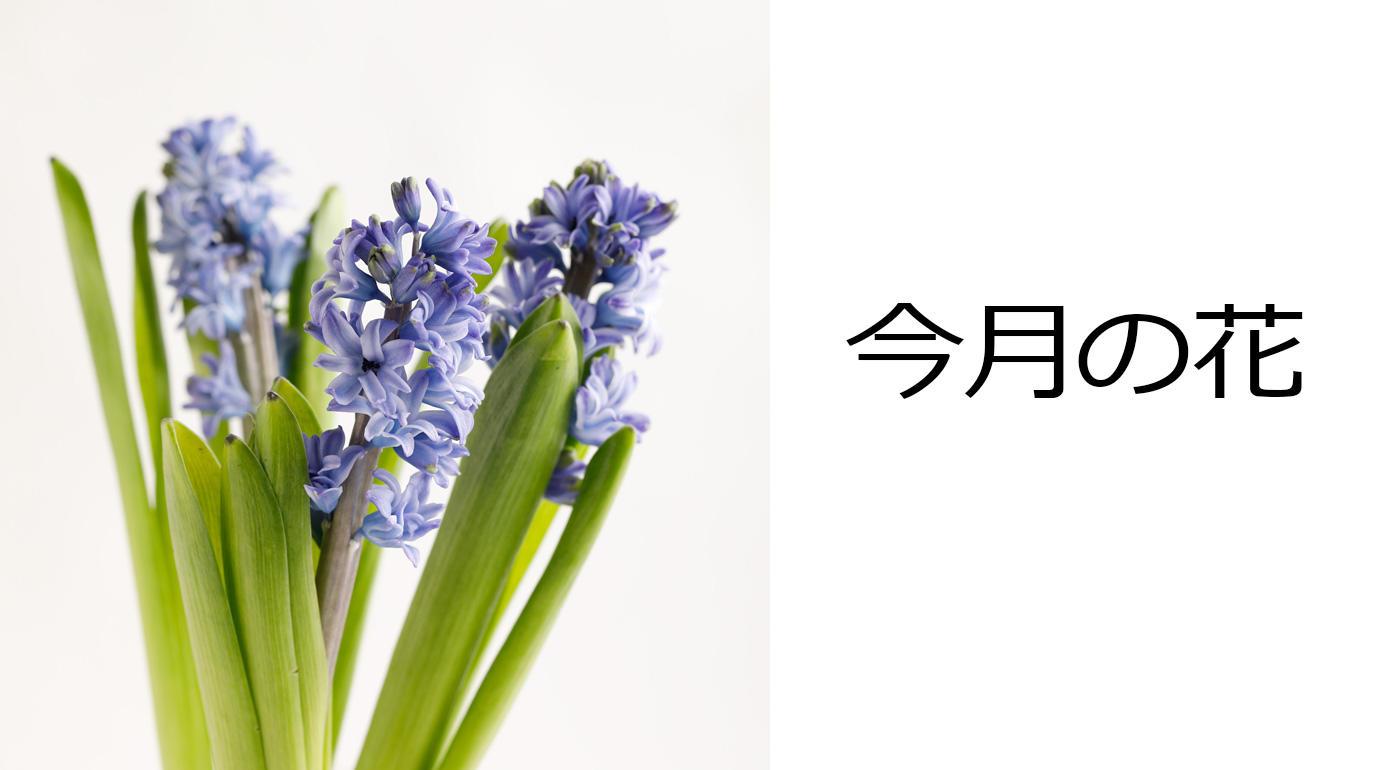 今月の花 ヒヤシンス