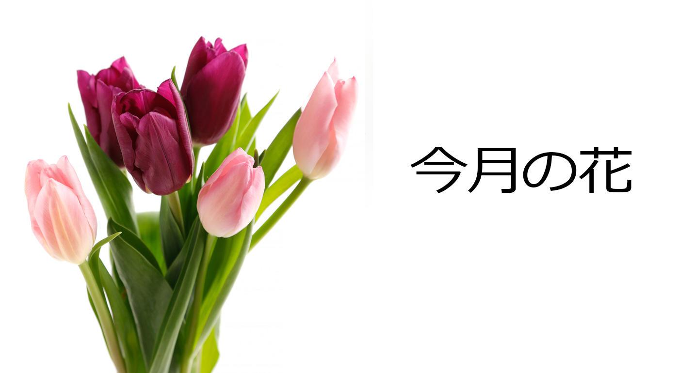 今月の花 チューリップ